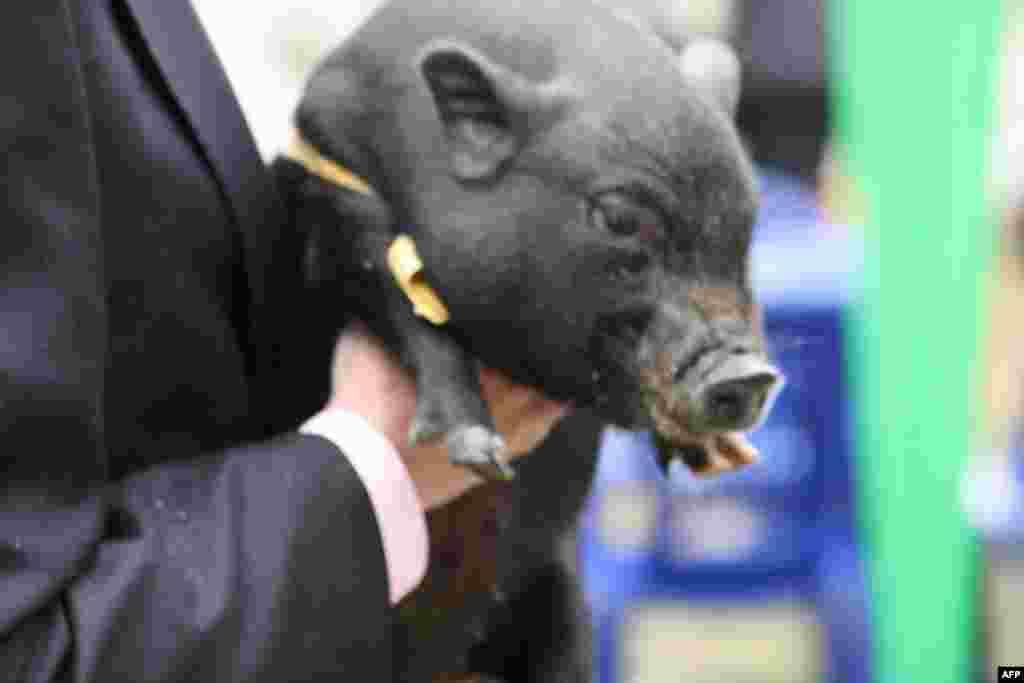 Живые свиньи тоже были, но преимущественно из Вьетнама. Породистых, полтавских, можно было увидеть, разве, что на тарелках