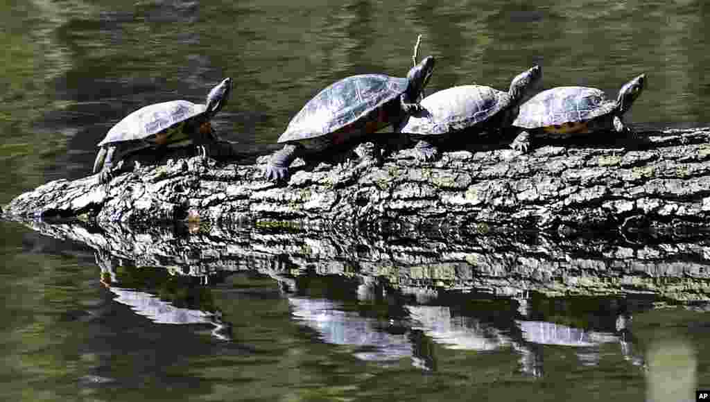 Turtles don't care about social distancing at a lake in Gelsenkirchen, Germany.