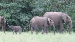 Le Gabon abrite plus de la moitié de la population d'éléphants d'Afrique.