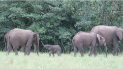 Gabon is home to more than half of the forest elephants in Africa, where park rangers fight poaching.
