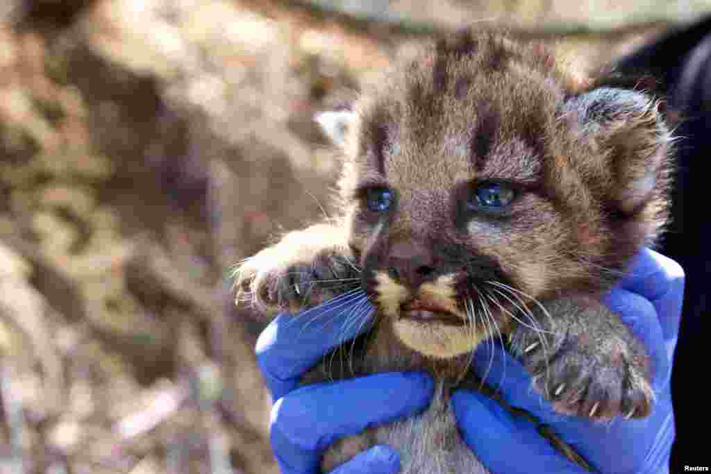 A mountain lion kitten which National Park Service researchers discovered in August in a remote area of the Santa Monica Mountains, California, is shown in this image released on Sept. 4, 2018.