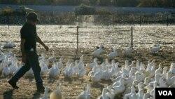Australia harus memusnahkan ribuan itik yang terinfeksi flu burung berpatogen rendah (foto: ilustrasi).