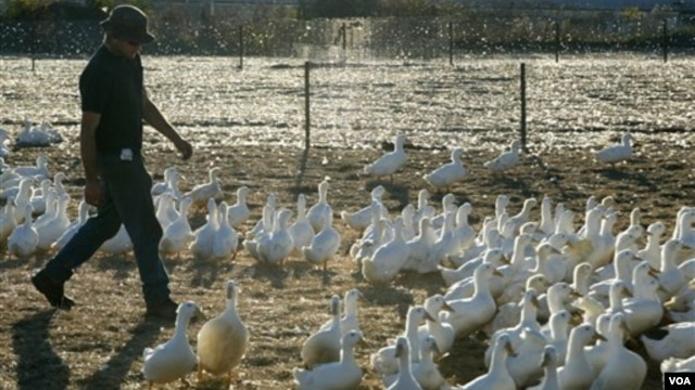 Pemerintah menghentikan sementara impor unggas dari Australia menyusul terbitnya pernyataan resmi Organisasi Kesehatan Hewan Dunia (Office International des Epizooties, OIE) kalau di Australia sedang terjadi wabah flu burung. (Foto: ilustrasi).