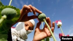 A boy works at a poppy field in Jalalabad province. (FILE)