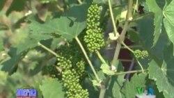 Virjiniya uzumzor va vino xo'jaliklarida/Virginia Wine Making