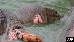 Ảnh chụp ngày 3/3/2011 cho thấy 'cụ rùa' bị thương và lở loét ở nhiều nơi, bơi lội chậm chạp và nổi lên mặt nước rất thường xuyên