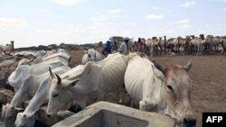 Keniya-Somali chegarasi. Qurg'oqchilikdan uy hayvonlari ham aziyat chekmoqda