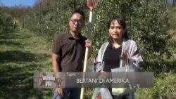Bertani di Amerika (1)