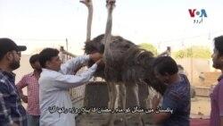 اجتماعی سحری میں شتر مرغ کے پکوان