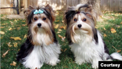 A pair of Biewer terriers. Courtesy of the Biewer Terrier Club of America and The American Kennel Club