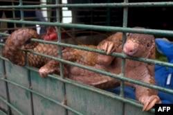 """Sumatra jadi """"titik panas"""" perdagangan ilegal trenggiling, menurut Traffic."""