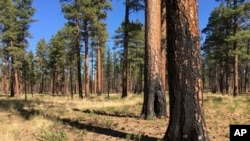 FILE - This Sept. 27, 2017, file photo, shows charred trunks of Ponderosa pines near Sisters, Ore., months after a prescribed burn removed vegetation that could start a wildfire. (AP Photo/Andrew Selsky, File)