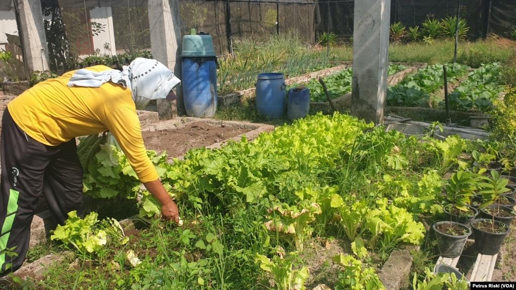 Seorang pekerja memanen sayuran organik di green house Gubug Lazaris, Pare, Kediri. (Foto: VOA/Petrus Riski)