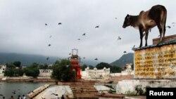گائے ہندو مذہب میں مقدس جانور تصور کی جاتی ہے۔ (فائل فوٹو)