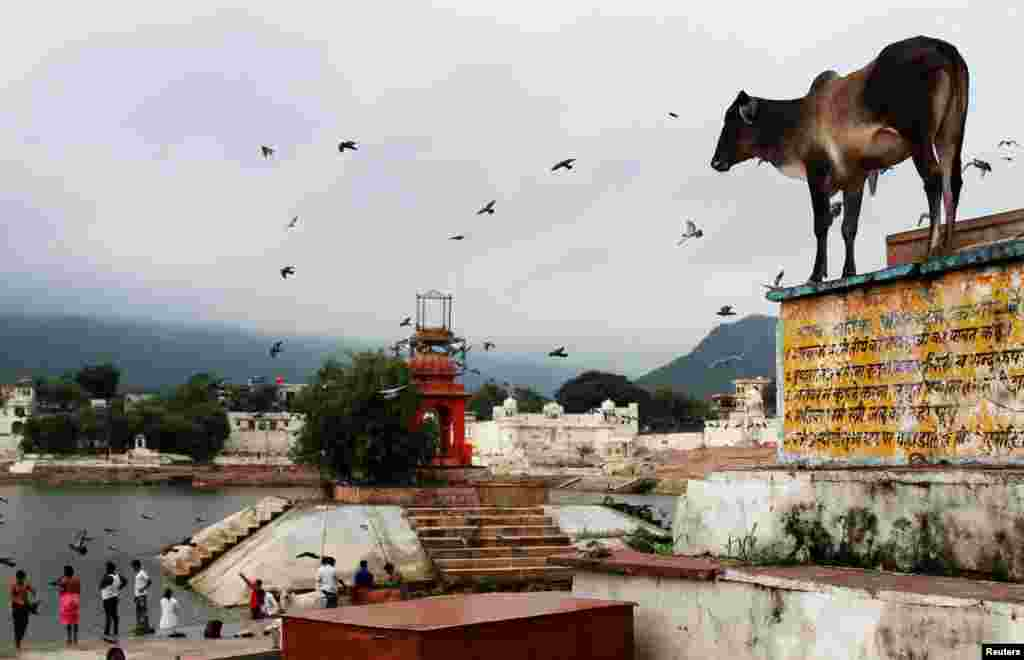 A cow stands outside a temple at a lake in Pushkar, in the desert state of Rajasthan, India.