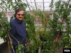 OSU plant breeder Jim Myers examines peppers in a greenhouse on the Corvallis campus. (Photo: Tom Banse/VOA)