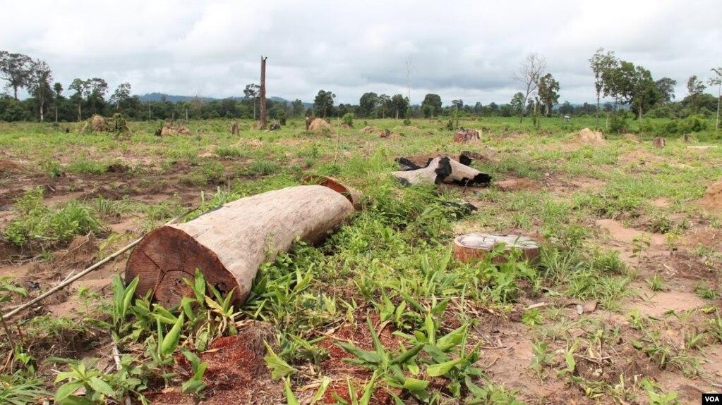 Rừng bị đốn hạ để phục vụ cho các hợp đồng chuyển nhượng đất ở tỉnh Ratanakiri, Campuchia. Ảnh: Nov Povleakhena/VOA Khmer.