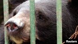 Tại các trại sản xuất mật gấu ở Việt Nam, gấu bị nhốt trong chuồng và phải chịu đựng các phẫu thuật để lấy mật từ túi mật dùng làm thuốc gia truyền.