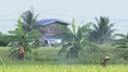泰国争议性大米政策影响执政党支持度