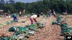 Menurut aktivis organisasi Maryland Legal Aid, banyak petani tidak menginginkan petugas bantuan hukum atau layanan kesehatan di lahan pertanian mereka, karena tidak ingin para pekerja mengetahui hak-hak mereka. Para pekerja bisa meminta bayaran lebih tinggi atau kondisi kerja yang lebih baik, dan itu bisa merugikan pendapatan petani (foto: Dok).