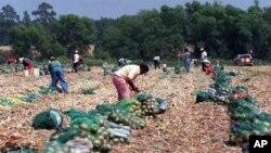 Des travailleurs migrants dans un champs d'oignons de l'Etat de Géorgie (Archives)