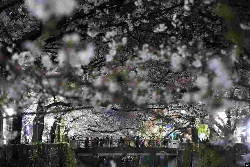 تجمع مردم بر روی پلی برای دیدن شکوفههای گیلاس در توکیو، ژاپن