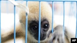 A three-month-old white-cheeked gibbon looks from inside a cage after Thai police arrested a citizen of the United Arab Emirates at Suvarnabhumi airport in Bangkok, May 13, 2011.