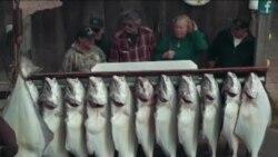 阿拉斯加荷马市的捕鱼大赛