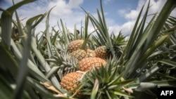 """菠蘿,在台灣又稱""""鳳梨""""。"""