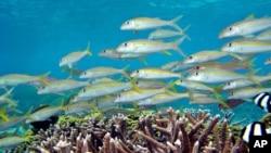 Goatfish (Mulloidicthys sp.) and striped damselfish (Dascyllus aruanus) swim at reef in Mariana Islands, Guam