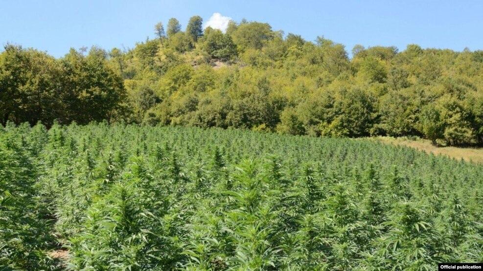 Asgjësohen mijëra rrënjë marijuane në juglindje të Shqipërisë