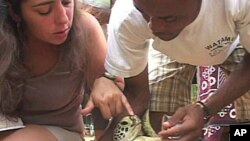 Conservation workers in Kenya check sea turtles as part of their efforts to help preserve them