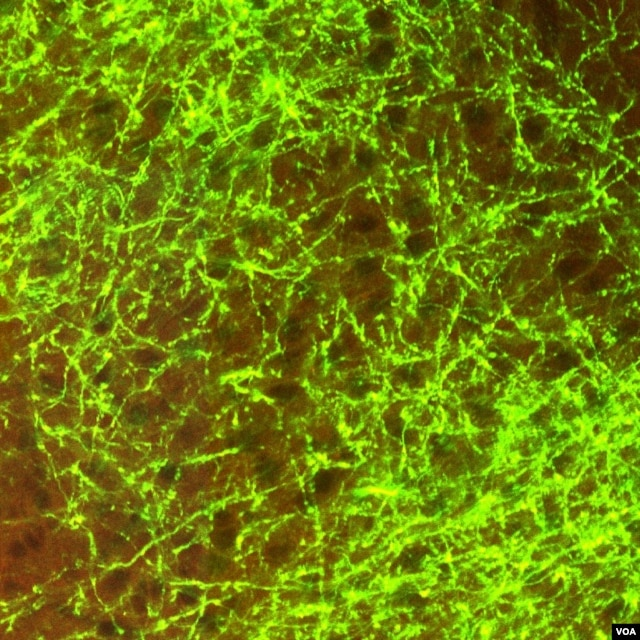 Dense nerve connections in the mouse cortex. (Allen Institute for Brain Science)