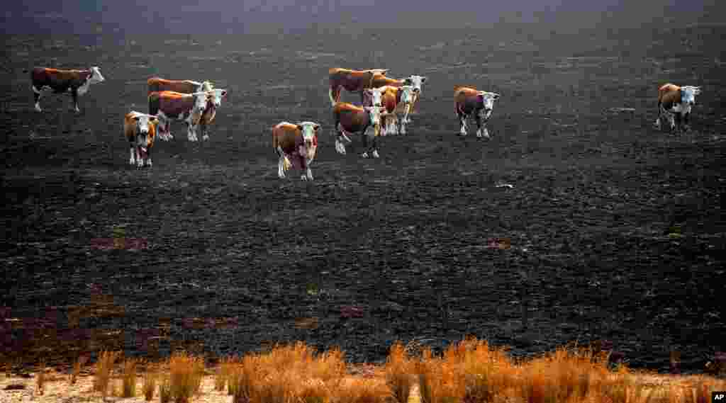 Cows stand in a burned-out paddock after wildfires swept through the township of Seaton, Australia. Wildfires raging across southern Australia have killed one man and destroyed several homes.