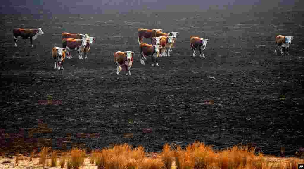Các con bò đứng tại một bãi cỏ bị cháy rụi sau khi cháy rừng quét qua thị trấn Seaton, Australia. Cháy rừng lan rộng tại miền nam Australia làm một người đàn ông thiệt mạng và một số nhà bị phá hủy. (AP)