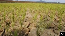 지난 2012년 6월 북한 황해북도 황주군 룡천리에서 가뭄으로 논 바닥이 갈라져있다. (자료사진)