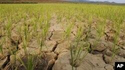 水稻在朝鲜干旱的大地上(资料照片)