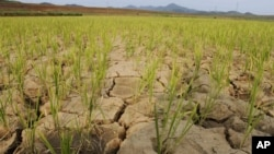 Rice plants grow from the cracked and dry earth in Ryongchon-ri, North Korea, in the country's Hwangju County, June 22, 2012.