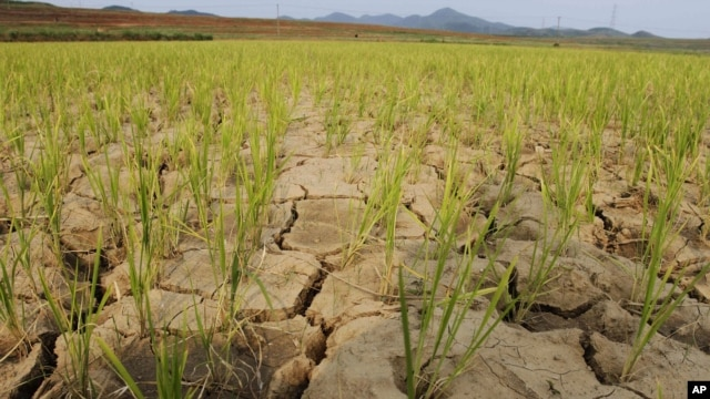 FILE -  Rice plants grow from the cracked and dry earth in Ryongchon-ri, North Korea, in the country's Hwangju County.