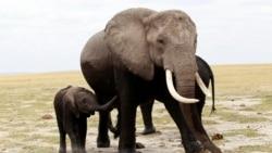 Quiz - Environmentalists: Kenyan Avocado Farm Would Block Elephant Movements