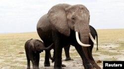 Des éléphants dans le parc national d'Amboseli, au Kenya, 9 octobre 213.