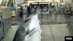 Seekor ikan paus berhasil ditangkap oleh sebuah kapal pemburu.