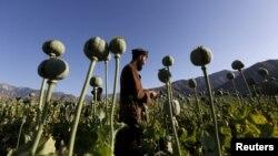 مزرعه خشخاش در افغانستان - آرشیو