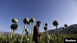 Một cánh đồng cây thuốc phiện ở tỉnh Nangarhar, Afghanistan, nơi có nhiều giao tranh (ảnh tư liệu, 4/2016)