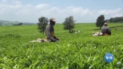 Ibikorwa vyo kwimbura icayi mu kiyaya ca Rift Valley muri Kenya vyahora bikorwa n'abantu bigiye gukorwa n'amamachine
