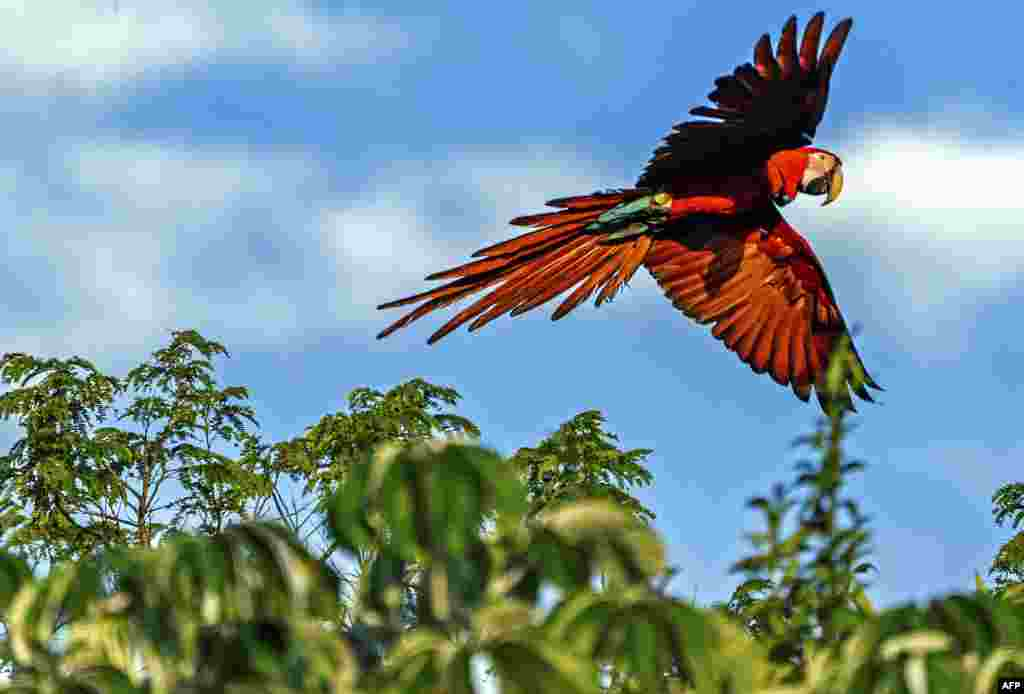 Handout picture released by the Rewilding Argentina Foundation showing a red macaw of five that were freed at the Ibera National Park, near Ituzaingo, Corrientes province, Argentina, June 28, 2020.