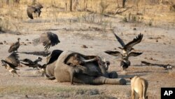 Animals dying in national parks due to a severe drought in Zimbabwe.