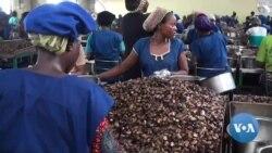 Le Bénin veut transformer localement ses noix de cajou