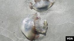 Ubur-ubur yang tampak seperti jamur-jamur yang terapung di Pulau St. Simonds, Georgia