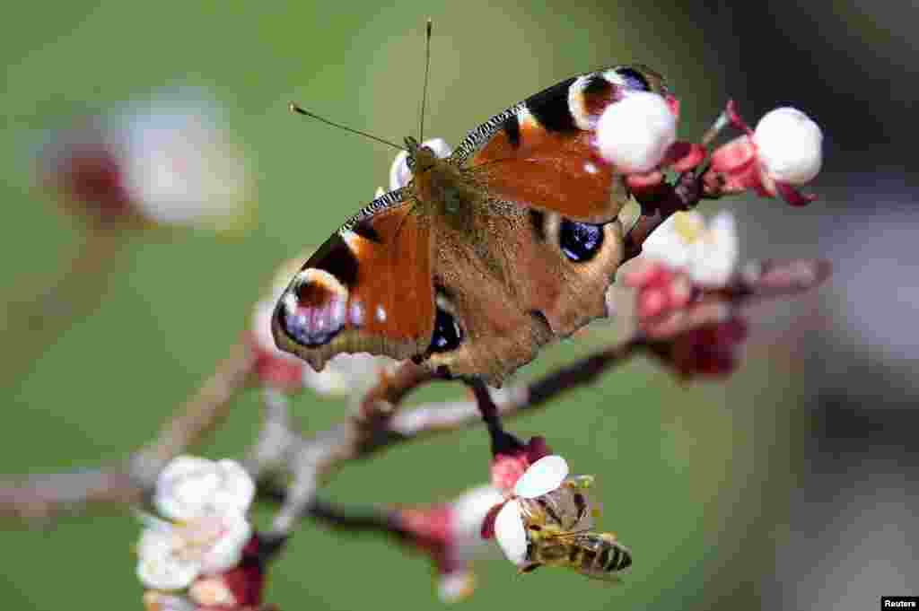 A peacock butterfly and a bee gather pollen on a blooming branch of an apricot tree, near the town of Pristina, Kosovo, March 21, 2020.